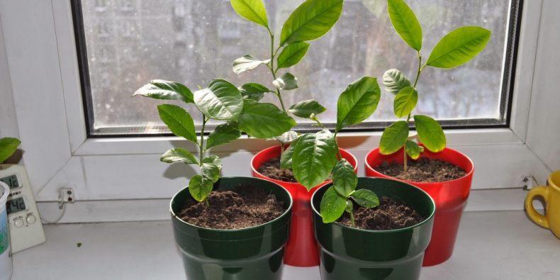 как из манговой косточки вырастить дерево